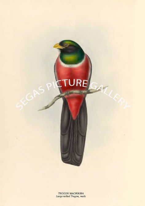 Fine art print of the TROGON MACROURA - Large-tailed Trogon, male by John Gould (1835 -38)